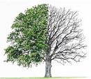 درختان سخت چوب-ترمووود